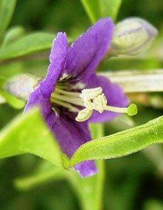 fleur-de-goji