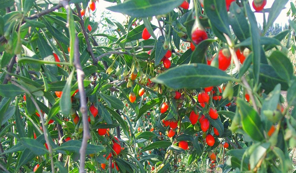 les baies de Goji, un plein de vitamine au jardin