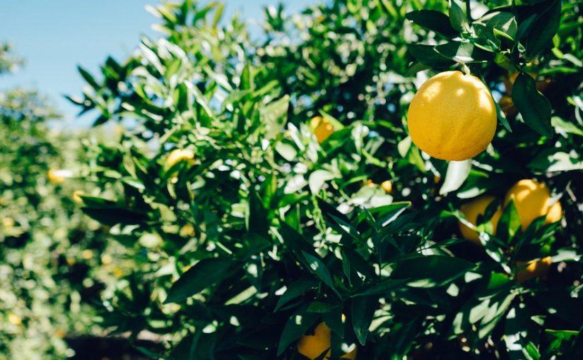 Faites-le plein de vitamine C avec la culture biologique du citronnier