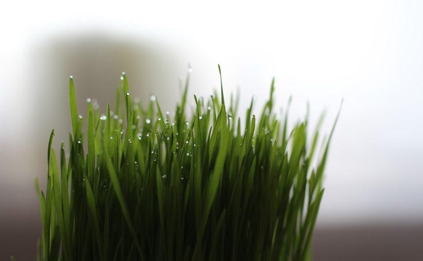 Qu'est-ce que l'herbe à chat ?
