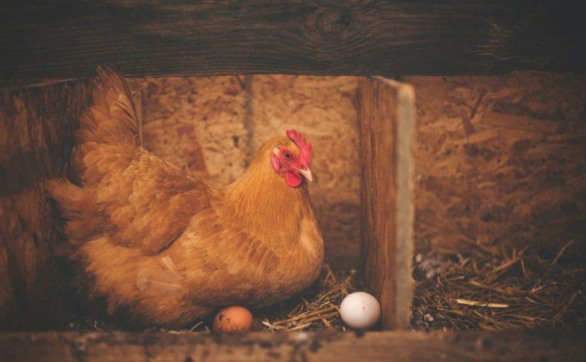 L'alimentation idéale des poules